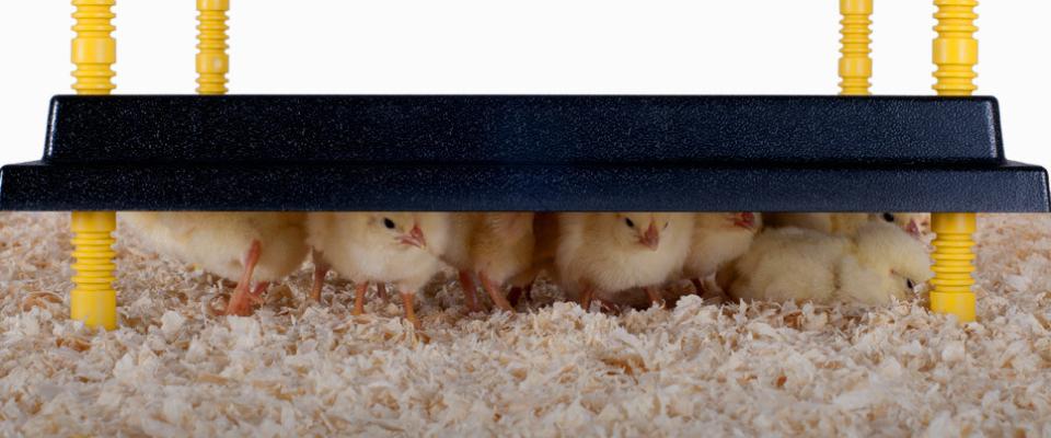 Nieuwe warmteplaten voor kuikens